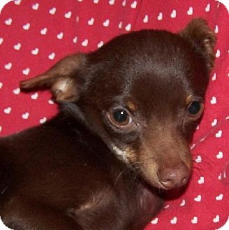 Chihuahua Mix Dog for adoption in Old Fort, North Carolina - Clifford