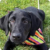 Adopt A Pet :: Sofie - Lewisville, IN