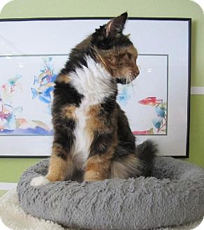 Calico Cat for adoption in HILLSBORO, Oregon - Tango