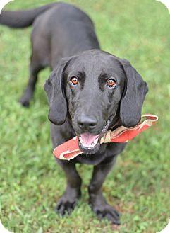 Basset Hound/Labrador Retriever Mix Dog for adoption in Denver, Colorado - Winston