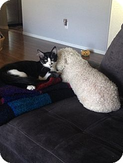 Domestic Shorthair Cat for adoption in Scottsdale, Arizona - Shea