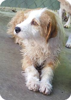 Cairn Terrier/Petit Basset Griffon Vendeen Mix Dog for adoption in Franklinville, New Jersey - Sandy