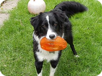 Border Collie Dog for adoption in WAterford, Wisconsin - Tess-Adoption Pending