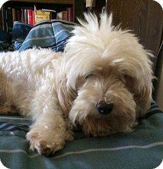 Maltese/Poodle (Miniature) Mix Dog for adoption in Jacksonville, Florida - Jake