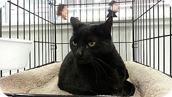 Domestic Shorthair Cat for adoption in Highland Park, New Jersey - Jet