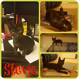Domestic Shorthair Kitten for adoption in Ft Worth, Texas - Stevie