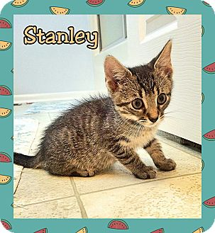 Domestic Shorthair Kitten for adoption in Atco, New Jersey - Stanley