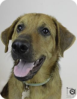 Labrador Retriever/Bloodhound Mix Dog for adoption in Minnesota, Minnesota - ELVIS