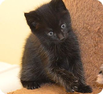 Domestic Shorthair Kitten for adoption in Eastsound, Washington - Toby