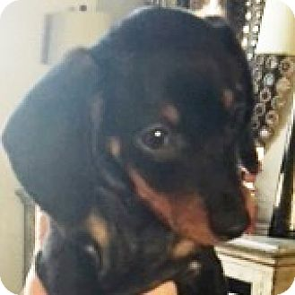 Dachshund Puppy for adoption in Houston, Texas - Ross Rookie