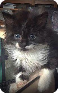 Domestic Longhair Kitten for adoption in Wichita, Kansas - Lola