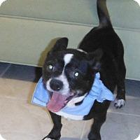 Adopt A Pet :: Banjo - Chapel Hill, NC