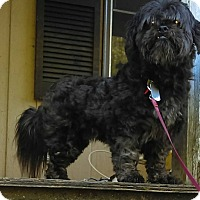 Adopt A Pet :: Chewie - Spring Valley, NY