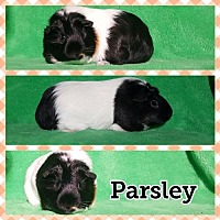 Adopt A Pet :: Parsley - gpig - Baton Rouge, LA