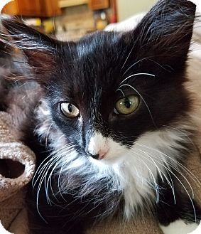 Domestic Longhair Kitten for adoption in Allentown, Pennsylvania - Boots