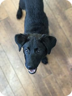 Shepherd (Unknown Type)/Labrador Retriever Mix Puppy for adoption in Charlotte, North Carolina - Lilly