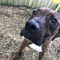 American Bulldog Mix Dog for adoption in Jackson, Mississippi - Newton Owen
