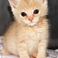 Adopt A Pet :: Aegis the Conqueror - Grants Pass, OR