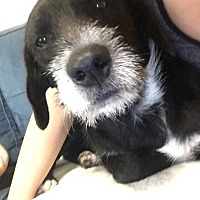 Adopt A Pet :: Moose - Aurora, CO