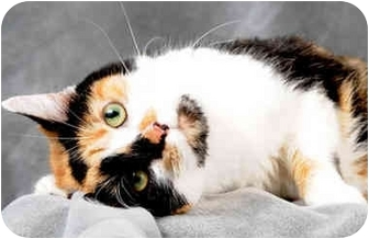 Calico Cat for adoption in Chicago, Illinois - Chrissy