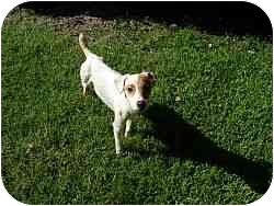 Jack Russell Terrier Dog for adoption in Austin, Texas - Trip