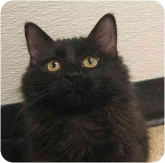 Domestic Mediumhair Cat for adoption in Fairmont, Minnesota - Fire