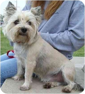 Cairn Terrier Dog for adoption in North Judson, Indiana - Gadget