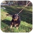 Photo 1 - Dachshund/Cocker Spaniel Mix Dog for adoption in Bloomsburg, Pennsylvania - Mindy