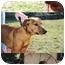Photo 2 - Redbone Coonhound/Labrador Retriever Mix Puppy for adoption in Buffalo, New York - Rudyard and Jaspar