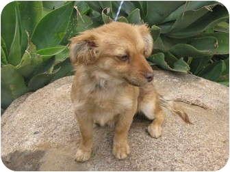 Chihuahua Mix Dog for adoption in Nuevo, California - LIL' NINA