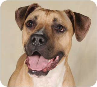 Boxer/American Pit Bull Terrier Mix Dog for adoption in Chicago, Illinois - Tyson