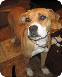 Boxer Mix Dog for adoption in Copperas Cove, Texas - Lizzy fully vetted $75