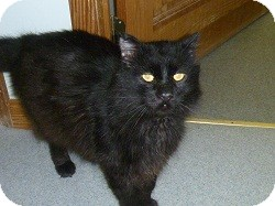 Domestic Mediumhair Cat for adoption in Hamburg, New York - Mimortor