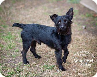 Yorkie, Yorkshire Terrier/Schnauzer (Miniature) Mix Dog for adoption in Hickory Creek, Texas - Jack