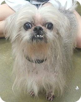 Chinese Crested/Shih Tzu Mix Dog for adoption in Orlando, Florida - Telly
