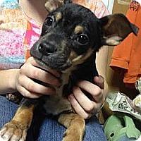 Adopt A Pet :: Perry - South Jersey, NJ
