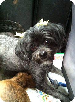 Lhasa Apso/Shih Tzu Mix Dog for adoption in Greer, South Carolina - Sunny and Jojo