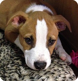 Boxer Mix Puppy for adoption in Knoxville, Tennessee - Sherman