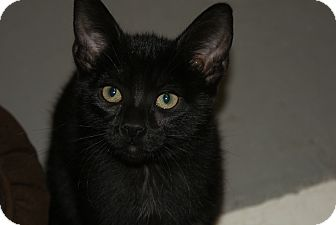Domestic Shorthair Kitten for adoption in Huguenot, New York - Curley
