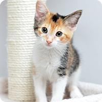 Adopt A Pet :: Lux - St. Louis, MO