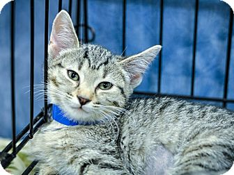 Domestic Shorthair Kitten for adoption in Gainesville, Florida - Gooseberry