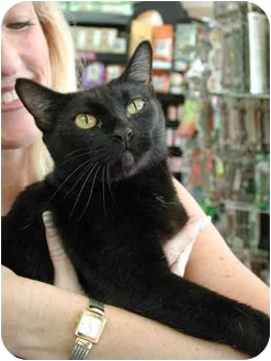 Domestic Shorthair Cat for adoption in Fort Lauderdale, Florida - Moet