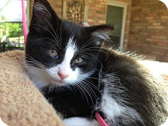Domestic Shorthair Kitten for adoption in Hamilton, Ontario - Minnie