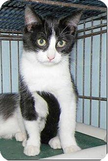 Domestic Shorthair Kitten for adoption in Sullivan, Missouri - Rex