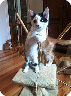 Domestic Shorthair Kitten for adoption in Hamden, Connecticut - Monro