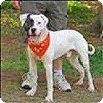 American Staffordshire Terrier Mix Dog for adoption in Hampton, Virginia - FERGUSON