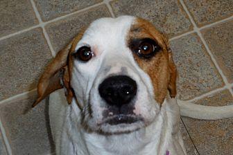 Beagle/Hound (Unknown Type) Mix Dog for adoption in Salem, West Virginia - Gracie