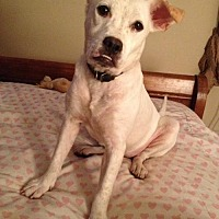 Labrador Retriever Mix Dog for adoption in New York, New York - Tiffany