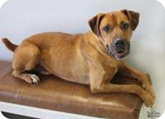 Boxer Mix Dog for adoption in Yukon, Oklahoma - Bob