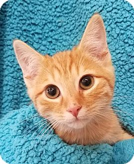 Domestic Shorthair Kitten for adoption in Colfax, Iowa - Chandler
